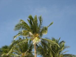 coconut-palms-white-beach