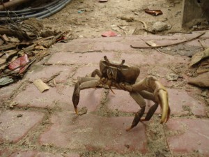 land-crab-boracay